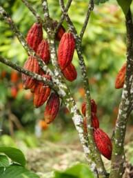 Fève de cacao Brésil